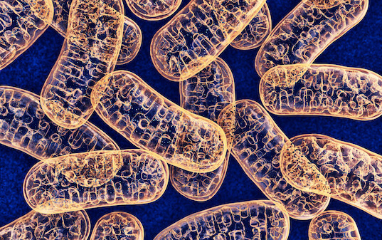 A new pathway that regulates mitochondrial function during blood cell production discovered. This discovery contributes to our understanding of the hematologic defects associated with mitochondrial diseases and aging.